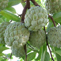 20Stück Samen Soursop Annona muricata Cherimoya  Zuckerapfel  Obst Annona S H9I6