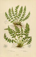 Stampa Antica by Pratt 1899 FELCETTA PELOSA(285) Piante Botanica CROMOLITOGRAFIA