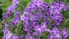 7 stunning 'Geisha Girl' Duranta repens flowering garden plants