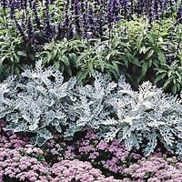 SILVER DUST SEED CINERARIA FLOWERING SHRUB HARDY COLOUR FOLIAGE 100 SEEDS