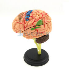 Human Brain Anatomical Model Need Assemble Imagination Culture Medical Science