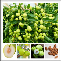 Jujube Big Fruit Tree Tropical Fruit 10 Pcs Seeds Plants Home Garden NEW Bonsai
