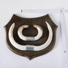 Wildschwein Keilerwaffen Trophäe Gewaff Hauer Länge 19,8 cm, Punkte:112,5