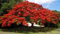 10 Samen Flammenbaum  Delonix Regia, Flamboyant, Baum Samen
