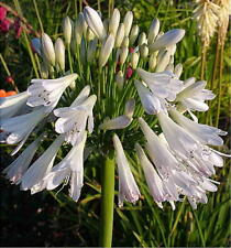 3 New  Agapanthus inapertus Silver Lining   garden perennial plants