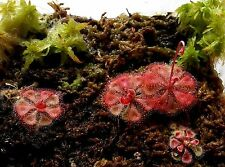 PrCo 30 Drosera burmannii 'Humpty Doo' Seeds Red basal rosettes 3cm Carnivorous