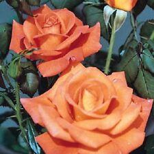 Dawn Chorus Bush Rose - 5.5L Pot Orange Flowers Strong Fragrance Hybrid Tea Rose