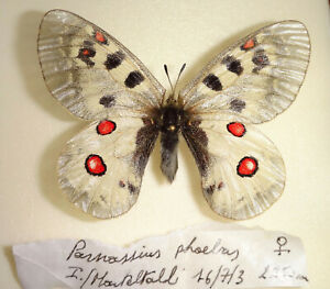 Parnassius phoebus ssp. Female Insect Butterfly Lepidoptera