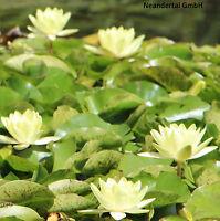 gelbe Seerose schnellwüchsige Wasserpflanzen Dekoideen für das Aquarium Deko ein
