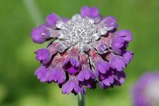 25+  PRIMULA CAPITATA aka PRIMROSE / SHADE LOVING PERENNIAL FLOWER SEEDS