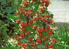 Fragaria Abacaxi-Escalada Morango, 50 Sementes Super Preço + Presente Grátis