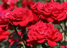 Rosa Nina Floribunda Rose Plant Fragrant Red Flowers
