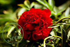 Red Peony Seeds Chinese Rose Color Flowers Plant Home Garden Suffruticosa 10 Pcs