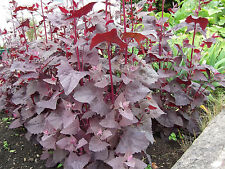 RED ORACH Tender red leaves. ORGANIC SEED Add chopped young leaves to salads.