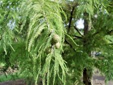 15 PEVE YELLOW BALD CYPRESS SEEDS -  Taxodium distichum 'Peve Yellow'