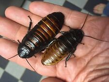 2 Adult Madagascar Hissing cockroach M/F pair OR you pick sexes free shipping