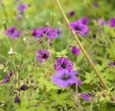 Geranium 'Ann Folkard' - a wonderful garden tested hardy perennial plant