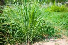 50 Seed Lemongrass Cymbopogon Citronella Medical Herb Plants Garden and Potted