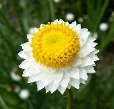 WINGED EVERLASTING - Ammobium Alatum  - 2000 seeds - FLOWER