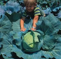Kings Seeds - Cabbage Brunswick - 500 Seeds