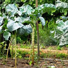 100 Seeds Couve Galega Portuguese Walking Stick Cabbage Kale Tree Collard Greens