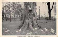 Olney Illinois Larchmont White Squirrels Antique Postcard K27788