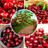 20 Cherry Tree Seeds Sweet Edible Fruit Tasty Plant Bonsai in Garden and Home