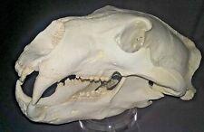 Polar Bear skull Replica