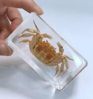 Cool Crab Insect Crustacean Specimen Paperweight Taxidermy NG10