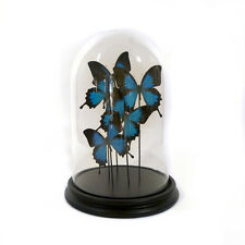 Modern glass dome with butterflies (papilio ulysses)