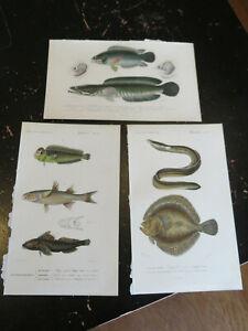 Fish - Dict,Universal D Histoire Naturelle, Paris ca: 1849 3 plates