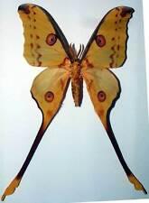 ARGEMA MITTREI - unmounted butterfly