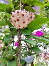 12 Platns Orchid Hoya parasitica Roxb Apocynacea Random Color With Cites&Phyto