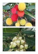 Arbutus unedo, 'Strawberry tree',evergreen P9