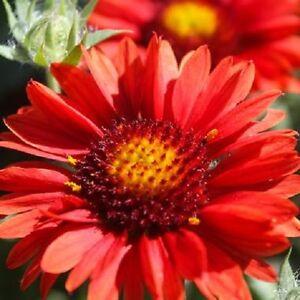 30+ GAILLARDIA RED ARIZONA FLOWER SEEDS / RARELY OFFERED  PERENNIAL