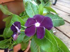 30+ Vinca Sunstorm Purple Flower Seeds/ Periwinkle / Hardy / Deer Resistant