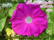 The Red Peak of the Mountain / Sekiho Japanese Morning Glory 6 Seeds