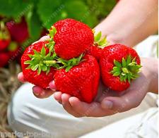 FRUIT SEEDS 300pcs Super Giant Strawberry Perfume BONSAI Strawberry Fruit, edibl