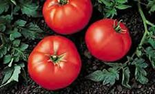 Best Bush Tomato Seed