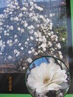 Schneeball-Magnolie Mags Pirouette - Magnolia loebneri Mags Pirouette