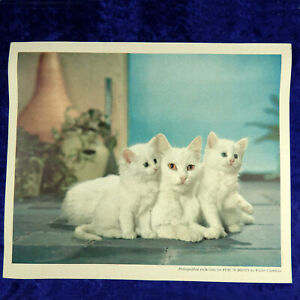 Vintage Walter Chandoha White Cats Print for Puss 'N Boots Vintage 1960's