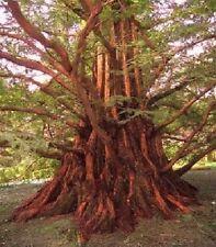 Urwelt Mammutbaum winterharte exotische Bäume für draußen den Garten Dekoideen