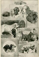 More details for clumber irish water spaniel scottie bulldog setter pointer dog old print 1896