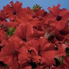 50 Pelleted Aladdin Red Petunia Seeds