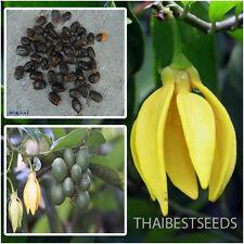 Artabotrys siamensis, Climbing Ylang-Ylang 10 Seeds, ''Karawek'' Fragrant Flower