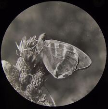 Glass Magic Lantern Slide PAPHIA BUTTERFLY IMAGO C1910 PHOTO INSECT