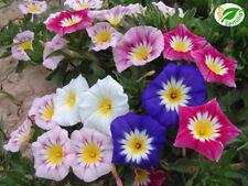 Dondiego de Día variado (Convolvulus minor) 150 semillas - seeds * Bella de dia