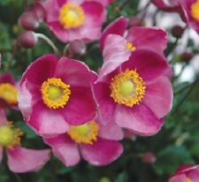 40+ ANEMONE PINK PERENNIAL FLOWER SEEDS