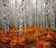 3xTruffle Tree  (Silver Birch )