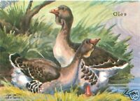 CARD BON POINT Oie Rieuse Anser Albifrons Greater White-fronted Goose 60s